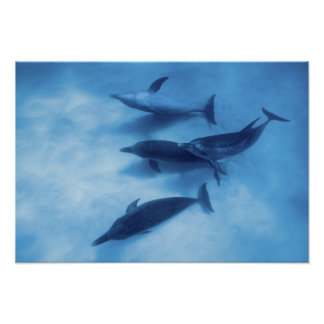 Atlantic spotted dolphins. Bimini, Bahamas. 7 Poster
