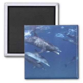 Atlantic spotted dolphins. Bimini, Bahamas. 8 2 Inch Square Magnet