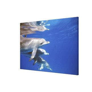 Atlantic spotted dolphins. Bimini, Bahamas. 8 Canvas Print