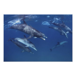 Atlantic spotted dolphins. Bimini, Bahamas. 8 Poster