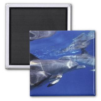 Atlantic spotted dolphins. Bimini, Bahamas. 9 2 Inch Square Magnet