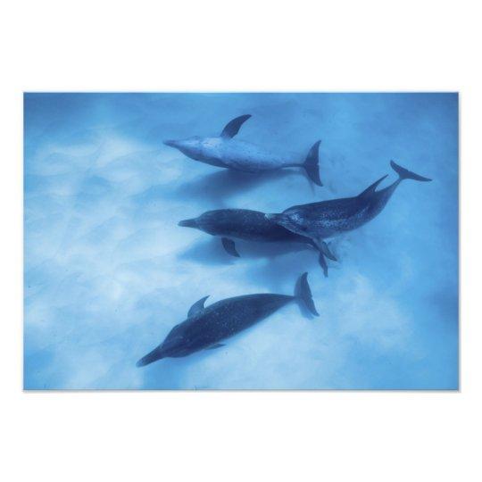 Atlantic spotted dolphins. Bimini, Bahamas. 9 Photo Print