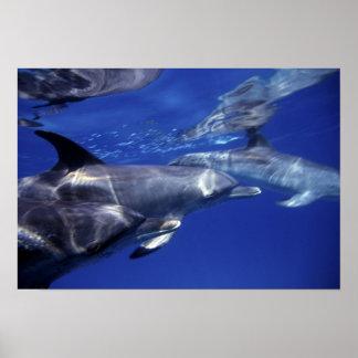 Atlantic spotted dolphins. Bimini, Bahamas. 9 Poster
