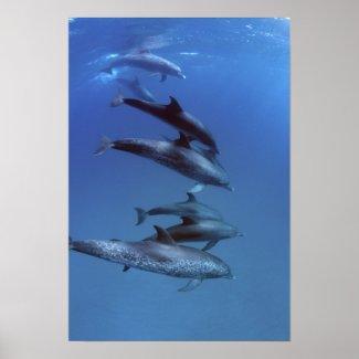 Atlantic spotted dolphins. Bimini, Bahamas. Poster