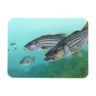 Atlantic Striped Bass Fish Morone Saxatilis Magnet