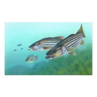 Atlantic Striped Bass Fish Morone Saxatilis Photo Print