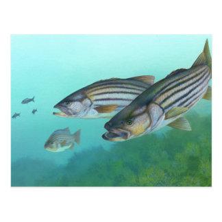Atlantic Striped Bass Fish Morone Saxatilis Postcard