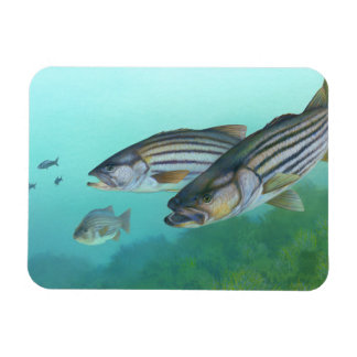 Atlantic Striped Bass Fish Morone Saxatilis Rectangular Photo Magnet