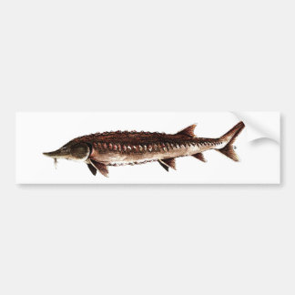 Atlantic Sturgeon - Acipenser oxyrinchus Bumper Stickers