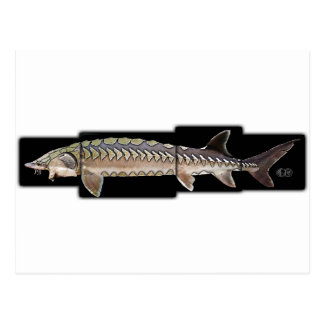 Atlantic Sturgeon - Acipenser oxyrinchus Post Cards