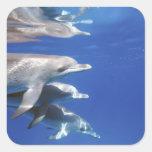 Atlántico manchó delfínes. Bimini, Bahamas. 10 Pegatina Cuadrada
