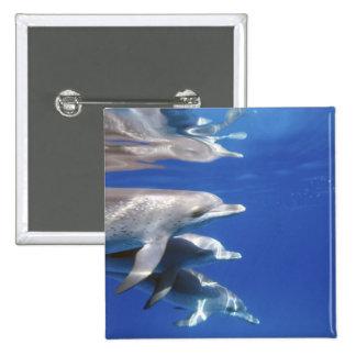 Atlántico manchó delfínes. Bimini, Bahamas. 10 Pin Cuadrada 5 Cm