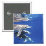 Atlántico manchó delfínes. Bimini, Bahamas. 10 Pin Cuadrado