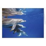 Atlántico manchó delfínes. Bimini, Bahamas. 10 Tarjeta De Felicitación