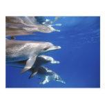 Atlántico manchó delfínes. Bimini, Bahamas. 10 Tarjeta Postal