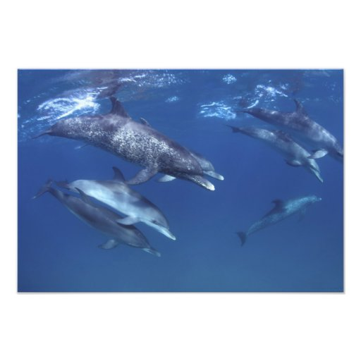 Atlántico manchó delfínes. Bimini, Bahamas. 11 Fotografía