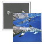 Atlántico manchó delfínes. Bimini, Bahamas. 11 Pin Cuadrada 5 Cm