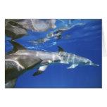 Atlántico manchó delfínes. Bimini, Bahamas. 11 Tarjeta De Felicitación
