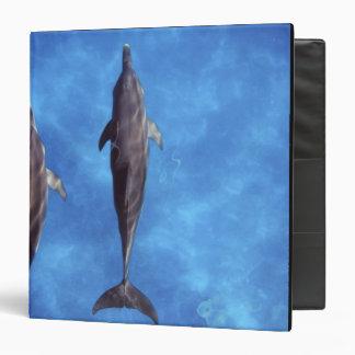 "Atlántico manchó delfínes. Bimini, Bahamas. 3 Carpeta 1 1/2"""