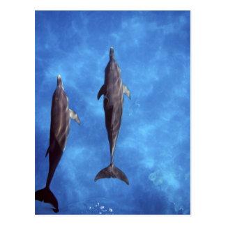 Atlántico manchó delfínes. Bimini, Bahamas. 3 Tarjetas Postales