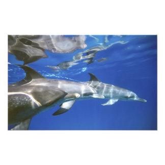 Atlántico manchó delfínes. Bimini, Bahamas. 4 Impresiones Fotográficas