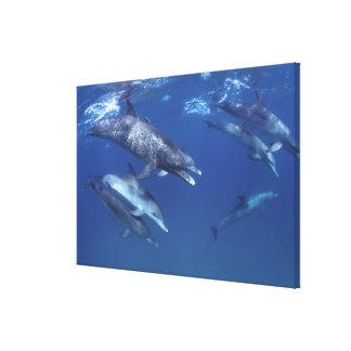 Atlántico manchó delfínes. Bimini, Bahamas. 5 Impresión En Lona Estirada