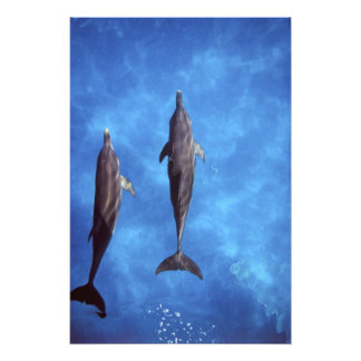 Atlántico manchó delfínes. Bimini, Bahamas. 5 Foto