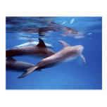 Atlántico manchó delfínes. Bimini, Bahamas. 6 Postales
