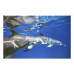 Atlántico manchó delfínes. Bimini, Bahamas. 7 Arte Fotográfico