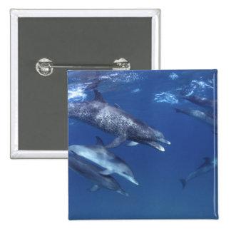 Atlántico manchó delfínes. Bimini, Bahamas. 8 Pin Cuadrada 5 Cm