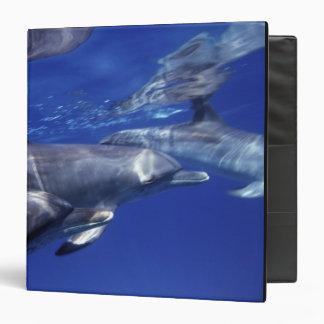"Atlántico manchó delfínes. Bimini, Bahamas. 9 Carpeta 1 1/2"""