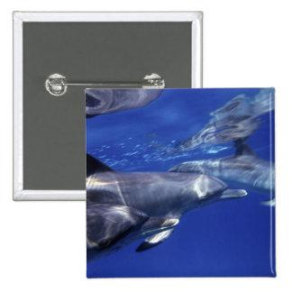 Atlántico manchó delfínes. Bimini, Bahamas. 9 Pin Cuadrada 5 Cm