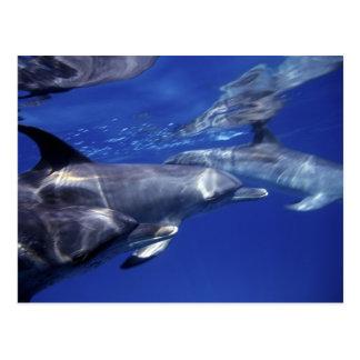 Atlántico manchó delfínes. Bimini, Bahamas. 9 Tarjetas Postales