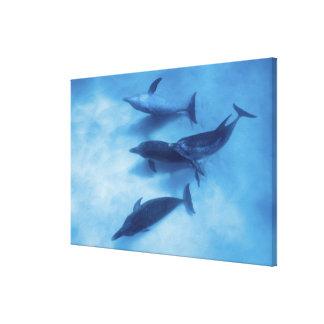 Atlántico manchó delfínes. Bimini, Bahamas Impresión En Lona Estirada