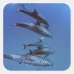 Atlántico manchó delfínes. Bimini, Bahamas Pegatina Cuadrada
