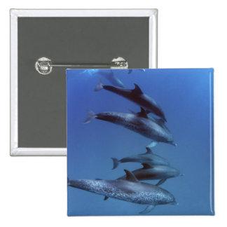 Atlántico manchó delfínes. Bimini, Bahamas Pin Cuadrada 5 Cm