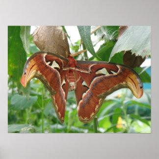 Atlas Moth Print