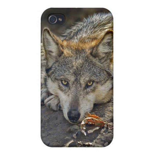 Atrevimiento del lobo iPhone 4/4S fundas