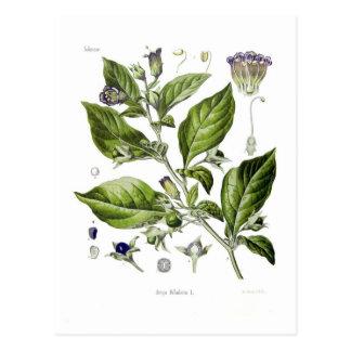 Atropa belladonna (Deadly Nightshade) Post Cards