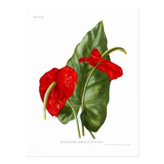 Atrosanguineum del Anthurium Postal