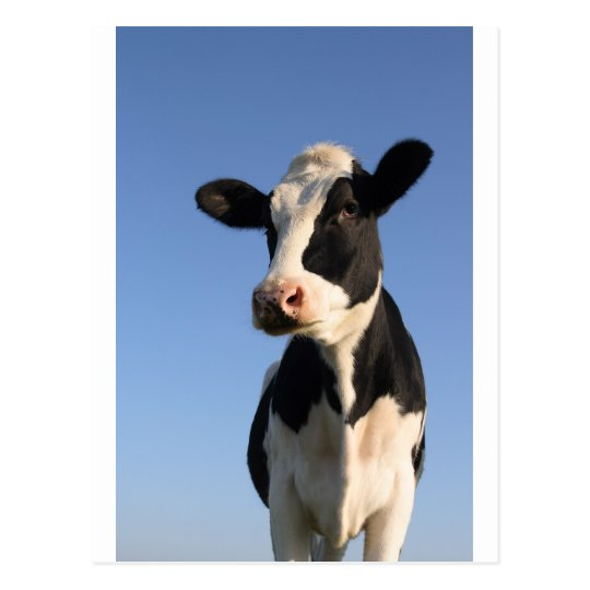 Attentive cow postcard
