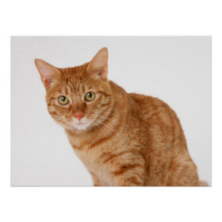 Attentive Ginger Cat Poster