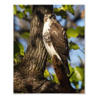 Attentive Hawk Photo Print