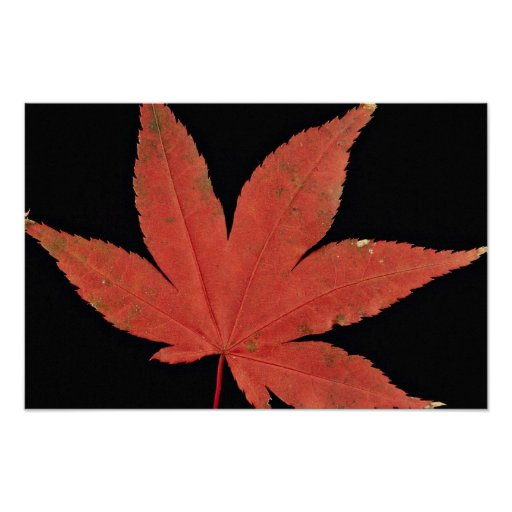 Attractive Japanese maple leaf Poster