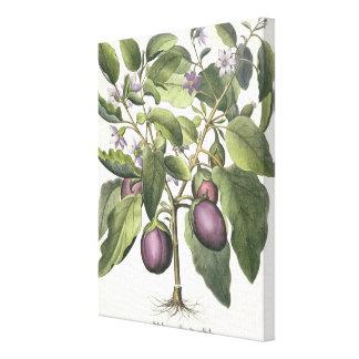 Aubergine: Melanzana fructu pallido, from the 'Hor Canvas Print