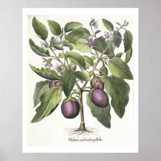Aubergine: Melanzana fructu pallido, from the 'Hor Poster