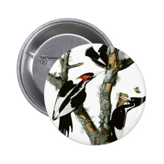 Aububon's Ivory-billed Woodpecker in Ash tree Button