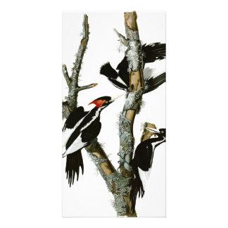 Aububon's Ivory-billed Woodpecker in Ash tree Card