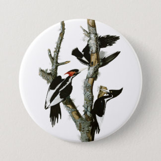 Aububon's Ivory-billed Woodpecker in Ash tree Pinback Button