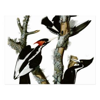 Aububon's Ivory-billed Woodpecker in Ash tree Postcard